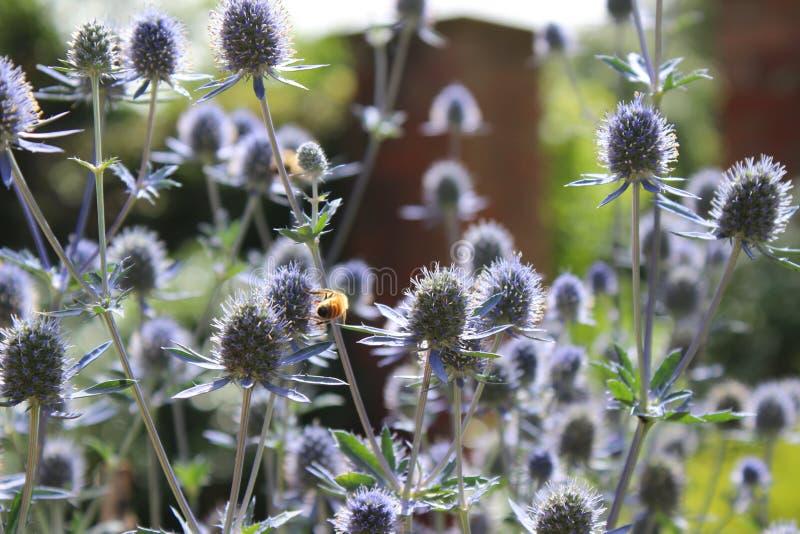 Den purpurfärgade lilan blommar i sol med honungbiet arkivbild