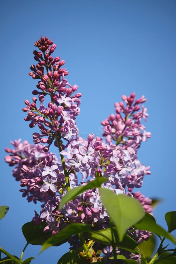 Den purpurfärgade lilan blommar på en bakgrund för blå himmel arkivbilder