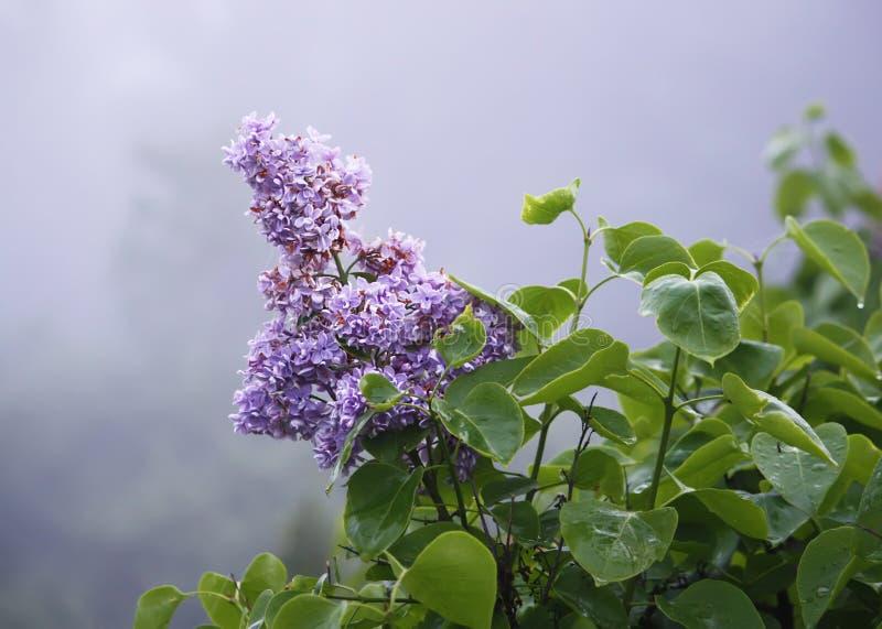 Den purpurfärgade lilan blommar utomhus royaltyfri foto