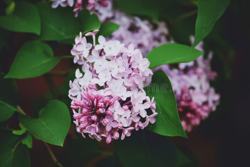 Den purpurfärgade lilan blommar utomhus royaltyfria foton