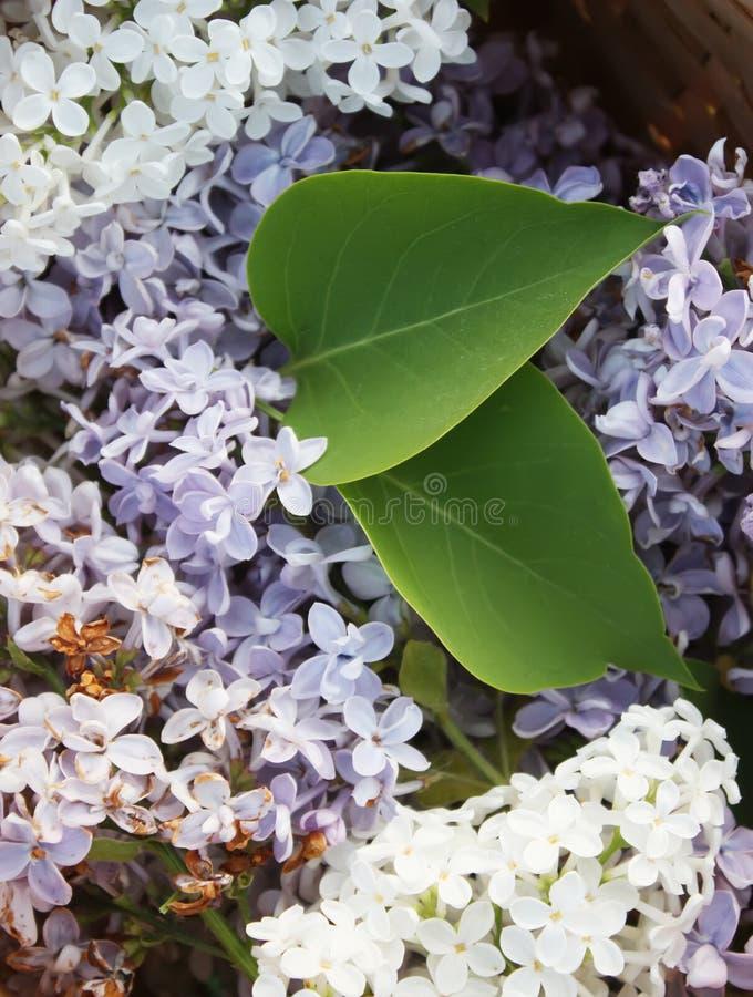 Den purpurfärgade lilan blommar utomhus royaltyfria bilder