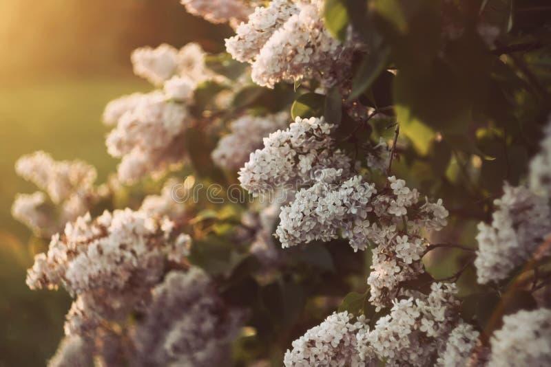 Den purpurfärgade lilan blommar utomhus royaltyfri fotografi