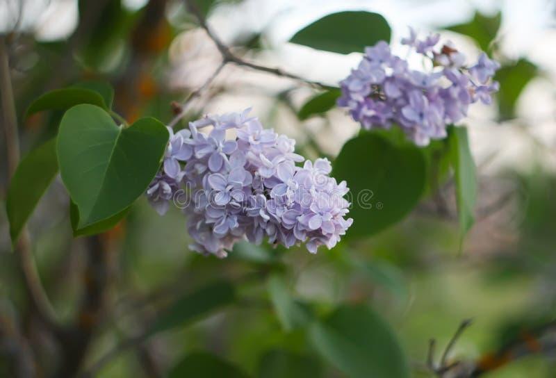 Den purpurfärgade lilan blommar utomhus arkivbild