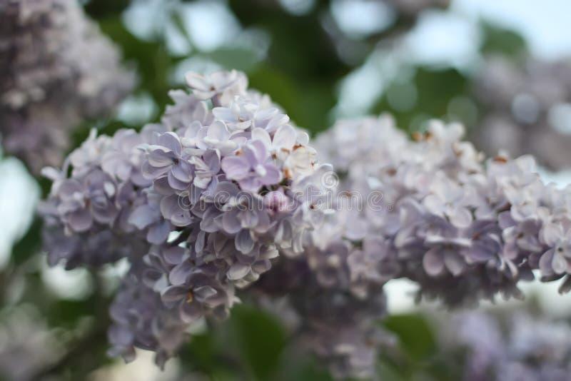 Den purpurfärgade lilan blommar utomhus arkivfoton