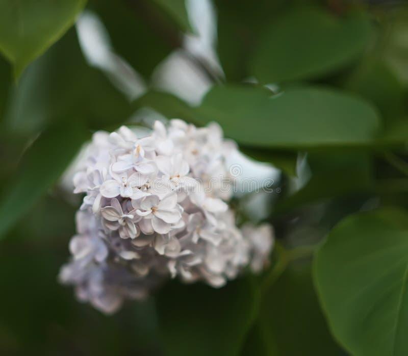 Den purpurfärgade lilan blommar utomhus arkivbilder