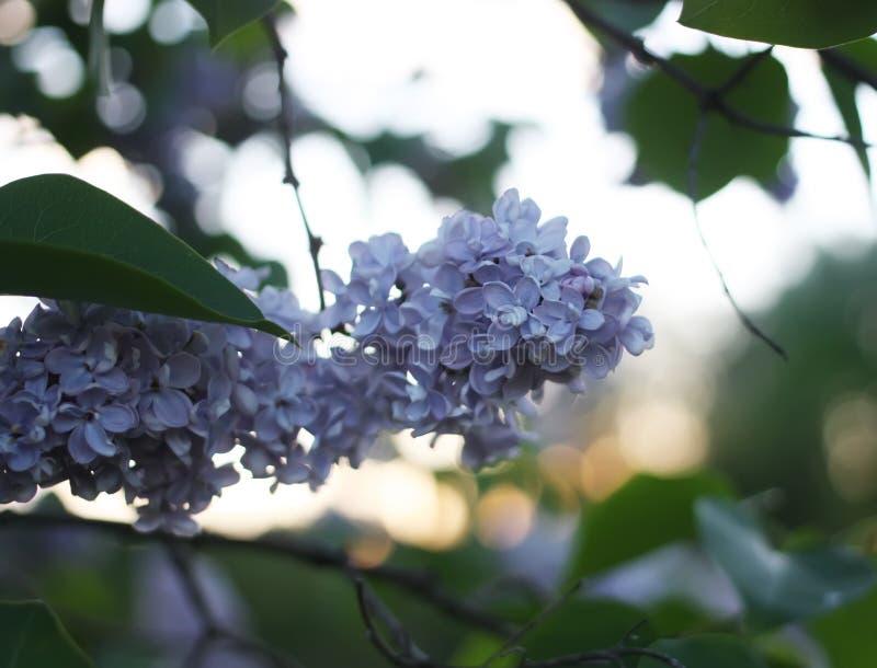 Den purpurfärgade lilan blommar utomhus fotografering för bildbyråer