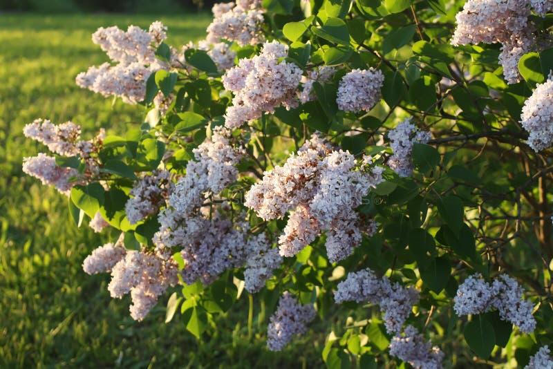 Den purpurfärgade lilan blommar utomhus arkivfoto