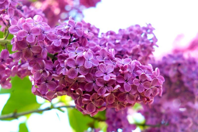 Den purpurfärgade lilan blommar utomhus i solen royaltyfri bild