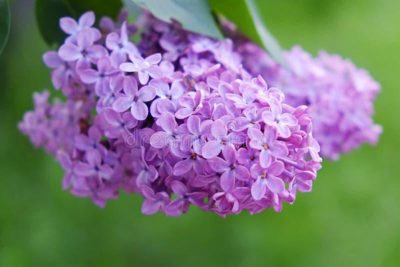 Den purpurfärgade lilan blommar utomhus i solen royaltyfria foton