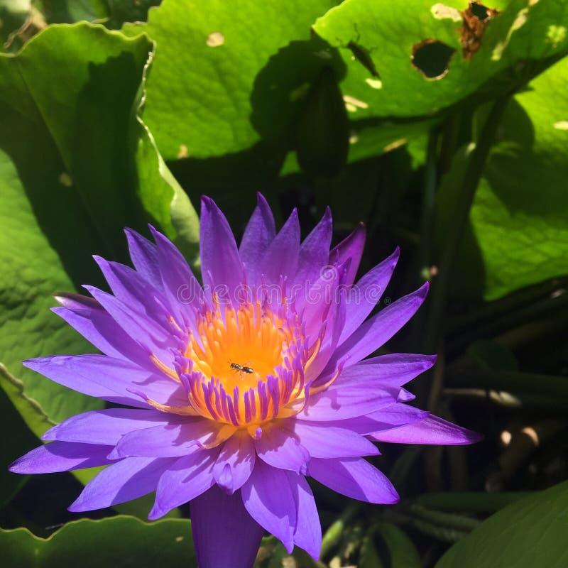 Den purpurfärgade Lotus blomman blommar i morgonen arkivbilder