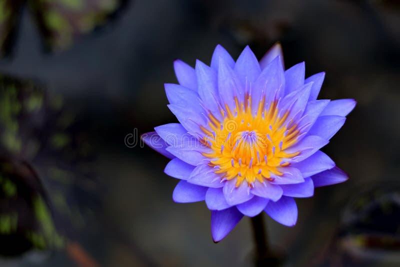 Den purpurfärgade lotusblomman har härliga naturliga gula stamens arkivbild