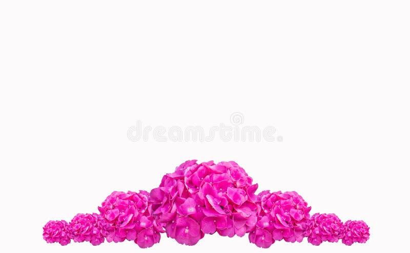 Den purpurfärgade macrophyllaen för vanlig hortensiablommavanliga hortensian, rosa färg blommar isolerat på vit bakgrund arkivbilder