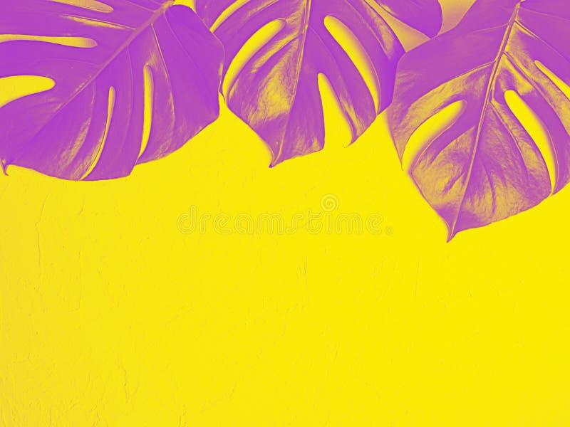 Den purpurfärgade monsteraen lämnar på gul bakgrund royaltyfri bild