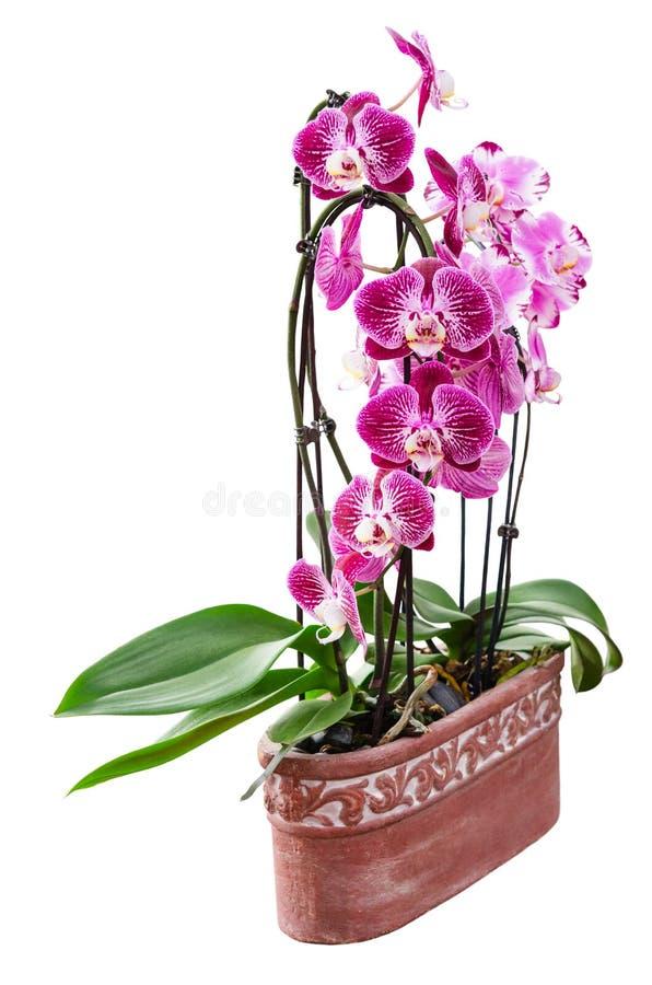 Den purpurfärgade orkidén blommar i den keramiska krukan som isoleras på vit royaltyfria bilder