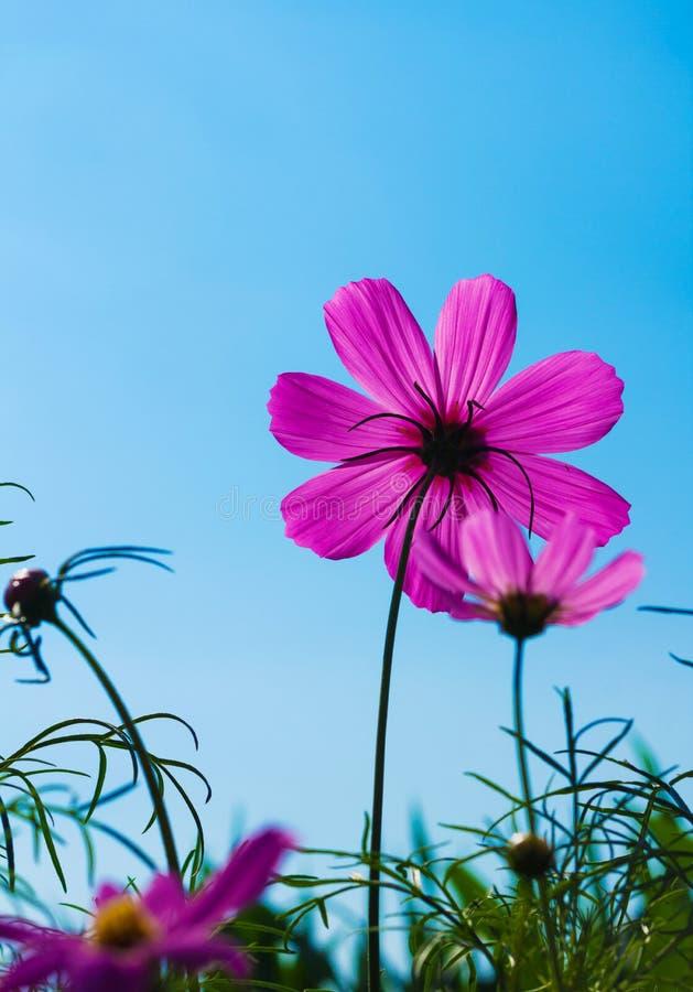 Den purpurfärgade tusenskönan blommar med blå himmel. arkivbild