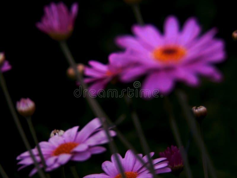 Den purpurfärgade tusenskönan efter regn i sommar royaltyfria foton