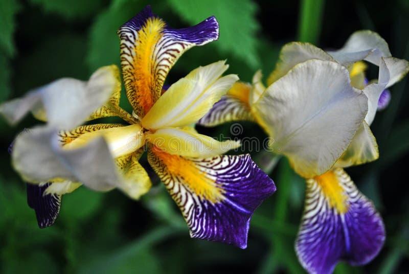 Den purpurfärgade, vita och gula paririns blommar blomma, oskarp grön sidabakgrund royaltyfria bilder