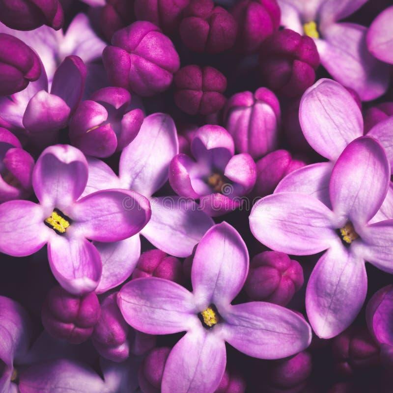 Den purpurf?rgade lilan blommar bakgrund royaltyfria bilder