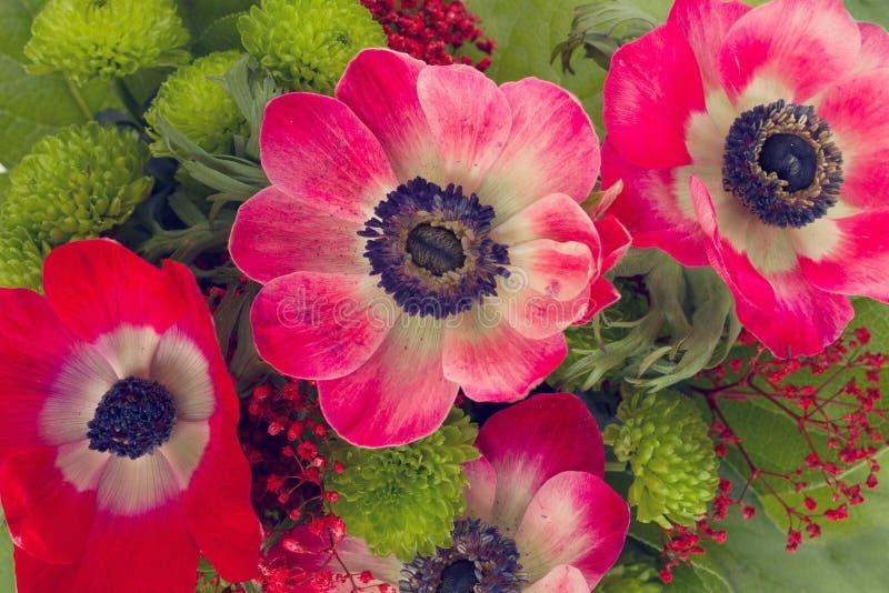 Den röda anemonen blommar tätt upp royaltyfria bilder
