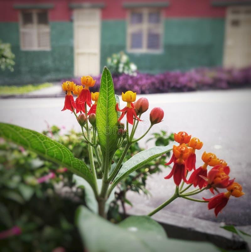 Den röda ballerina blommar i gata med husbakgrund royaltyfri bild