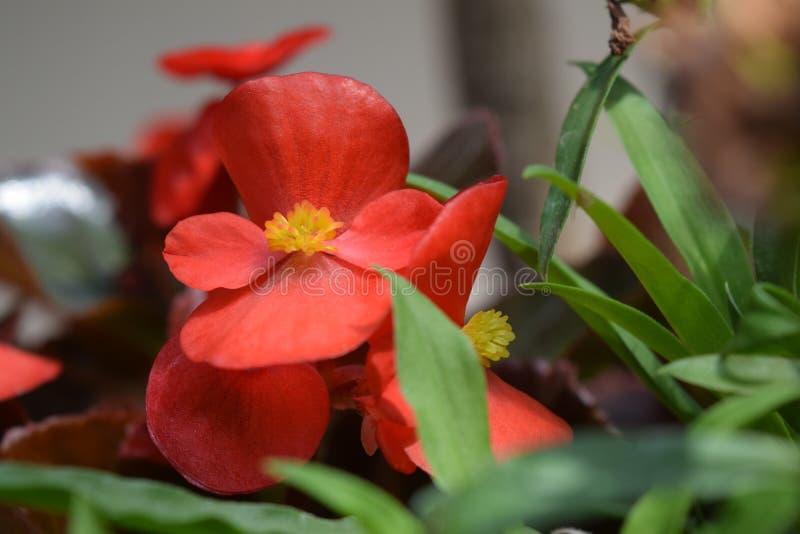 Den röda begonian blommar med trevlig morgon för dagsljus royaltyfri fotografi