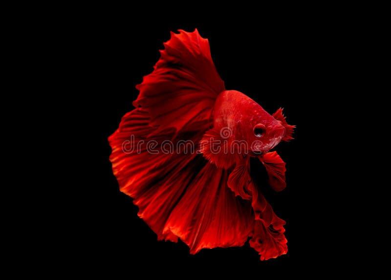 Den röda bettafisken, den Siamese slåss fisken isolerades på svart bakgrund För fisk handling också av vändhuvudet i olik riktnin royaltyfri fotografi
