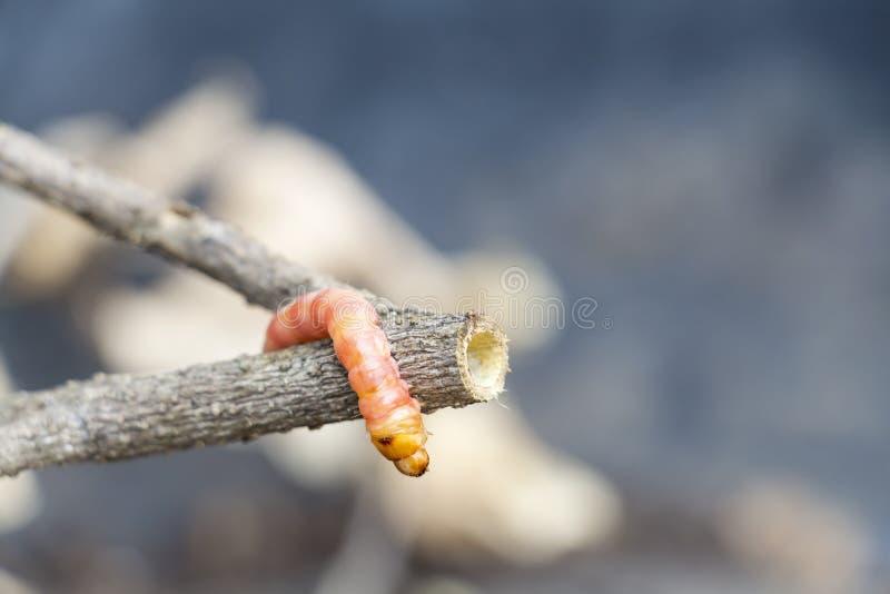 Den röda borren för den Zeuzera coffeae- eller malstammen förstör trädet, är det farliga krypplågor med växtsjukdomen av grönsake royaltyfri fotografi