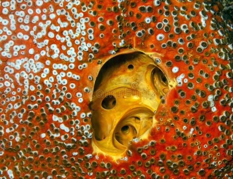Den röda borrningen snyltar (Cliona delitrix) fotografering för bildbyråer