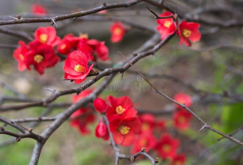 Den röda chaenomelesen blommar lite i wintergarden i Toowoomba, Australien arkivbild