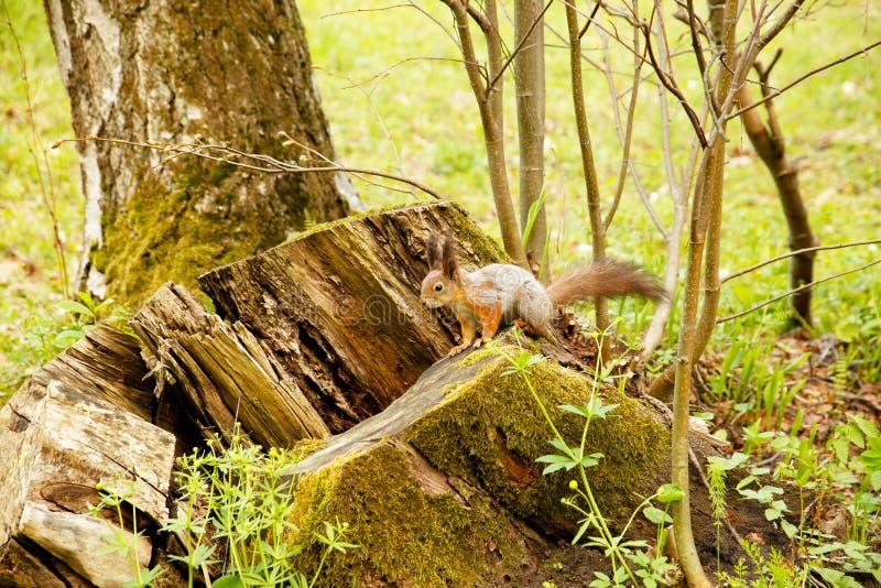 Den röda ekorren förvanskar på trä royaltyfri bild