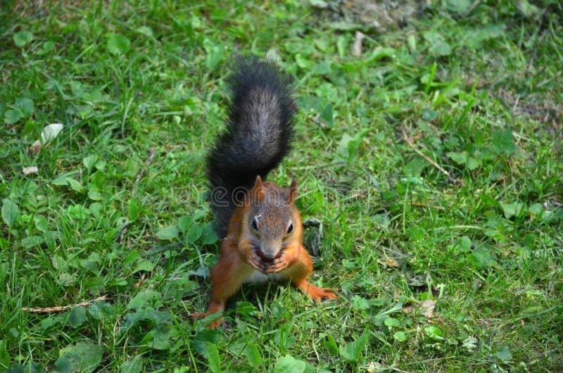 Den röda ekorren gnag kastanjen som sitter på gräset i, parkerar fotografering för bildbyråer