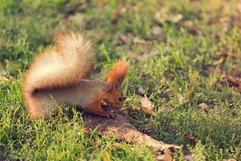 Den röda ekorren i parkerar och att hoppa på det gröna gräset som söker efter mat royaltyfria bilder