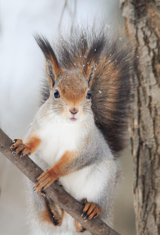 Den röda ekorren med en buskig svans sitter på träd och äter muttrar i snön arkivfoton
