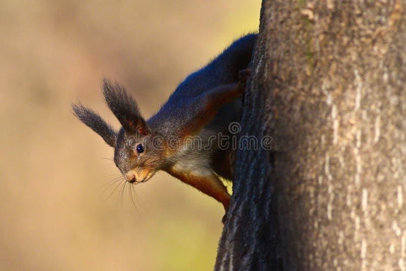 Den röda ekorren säger hälsningar arkivfoton