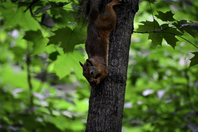 Den röda ekorren ( sciurus vulgaris) hänger på ett träd och äter muttern fotografering för bildbyråer