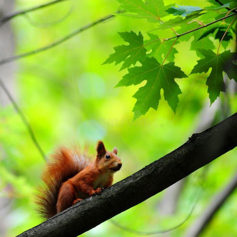 Den röda ekorren sitter på en lönnfilial och vänder mot österut royaltyfria foton