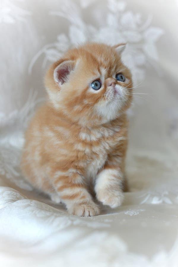 Den röda exotiska Shorthair kattungen som sitter på en grå bakgrund och, lyftte hans tafsar royaltyfria bilder