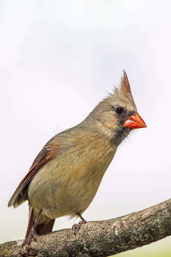 Den röda fågeln, kvinnlig, sätta sig, trädet, lem royaltyfria foton