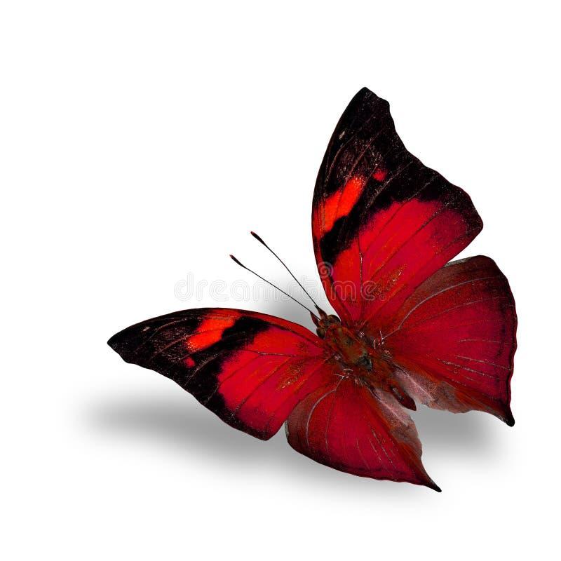 Den röda fjärilen för härligt flyg på den vita bakgrundswiithshaen royaltyfri fotografi