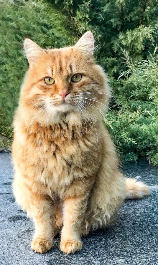 Den röda fluffiga katten sitter på jordning royaltyfria foton