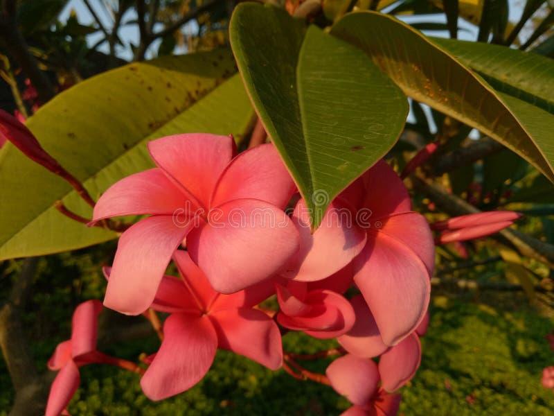 Den röda frangipanien blommar i komplexet av bostads- Pondok Candra, Sidoarjo, Indonesien royaltyfri foto