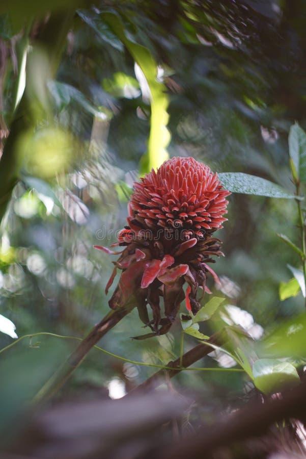 Den röda Ginger Lily arkivbild