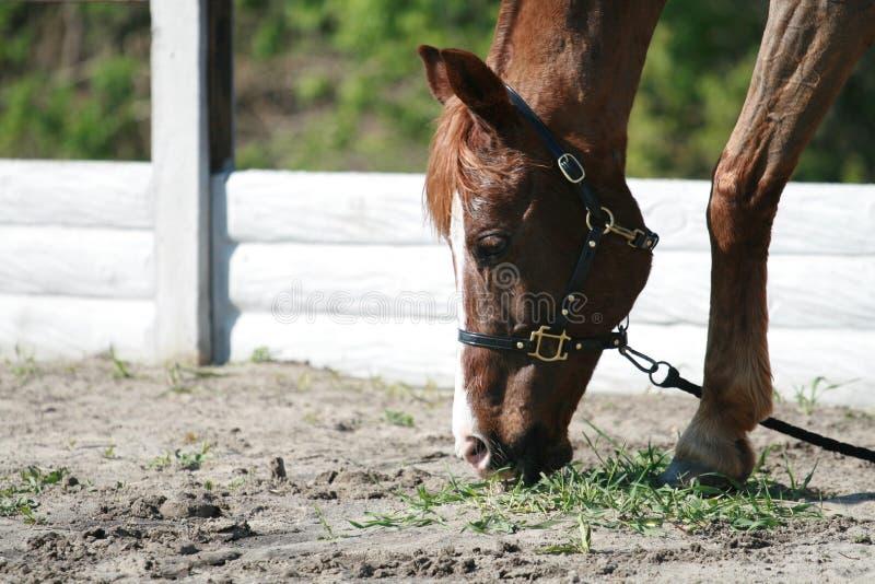 Den röda hästen äter gräs från jordningen arkivfoto