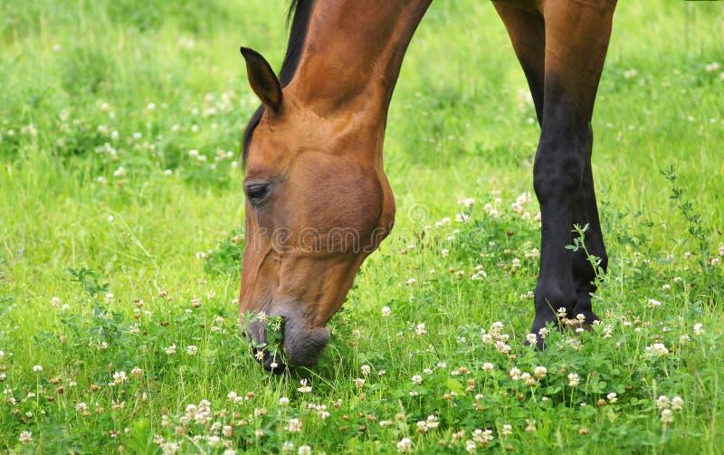 Den röda hästen äter växt av släktet Trifolium royaltyfri fotografi