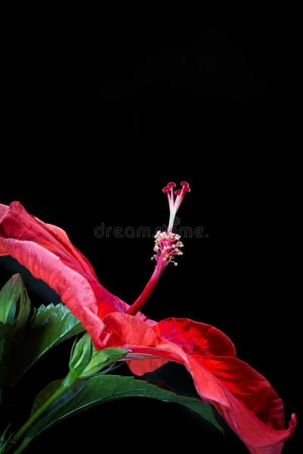 Den röda hibiskusen blommar, röda blommor på en svart bakgrund Beauti royaltyfri fotografi