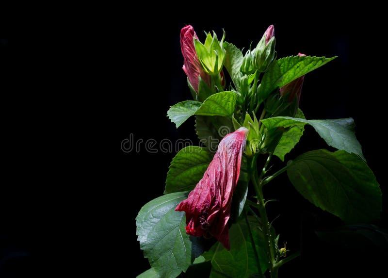 Den röda hibiskusen blommar, röda blommor på en svart bakgrund Blommor royaltyfria foton