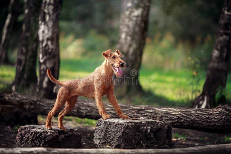 Den röda hunden utför övningar på trädet obedience royaltyfri fotografi