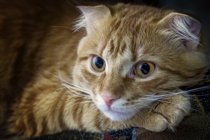 Den röda katten är lugna med ledsna ögon royaltyfri foto