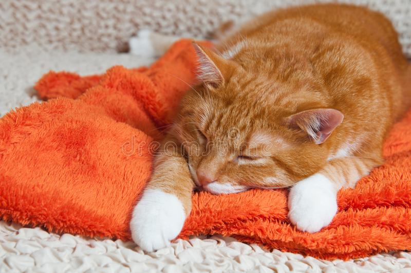Den röda katten blev sjuk royaltyfri fotografi