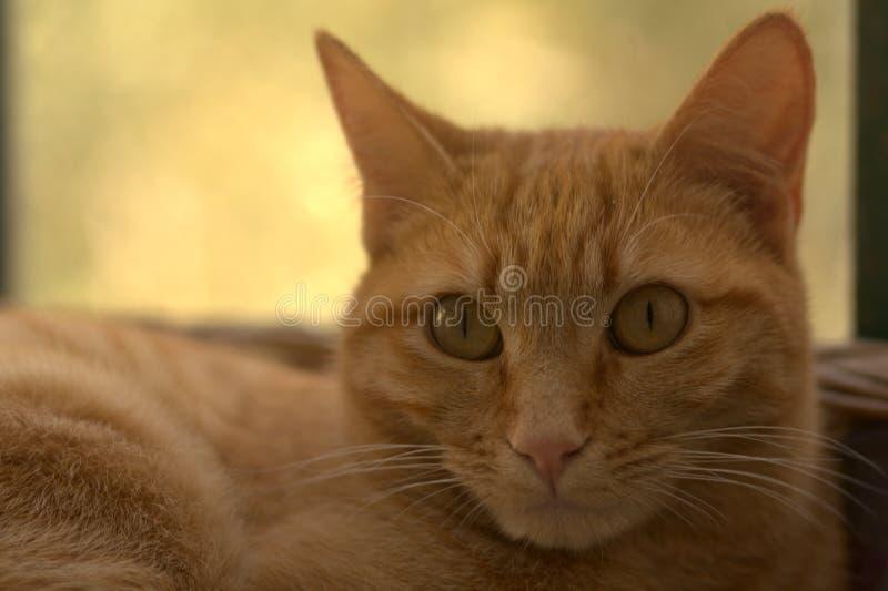 Den röda katten håller ögonen på dig royaltyfria bilder
